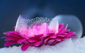 Picture Macro, Flower, Snow, Ice