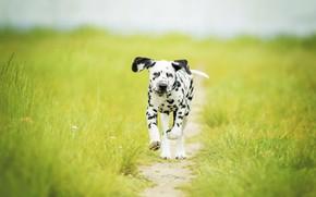 Picture grass, dog, meadow, puppy, walk, path, bokeh, doggie, Dalmatian