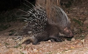 Picture needles, animal, porcupine