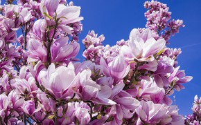 Picture Flowers, The sky, Nature, Plant, Magnolia