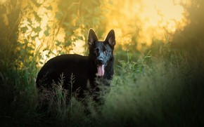 Picture grass, dog, German shepherd