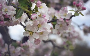 Picture branch, flowers, flowering, gently, leaves
