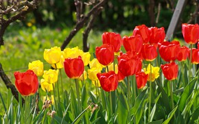 Picture Spring, Spring, Red tulips, Red tulips, Yellow tulips, Yellow tulips