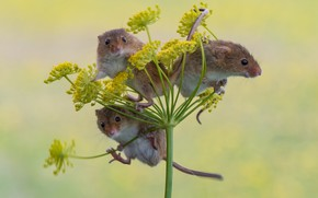 Picture background, trio, mouse, Trinity, Harvest Mouse, The mouse is tiny