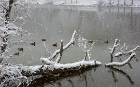 Picture winter, lake, snow, freeze, ducks, frost, snowing