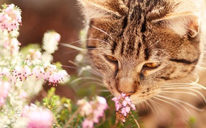 Wallpaper cat, cat, face, flowers, nature, grey, background, mood, OSA, insect, striped, sniffing, Heather