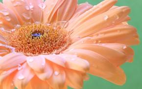 Picture flower, water, drops, Rosa, petals, gerbera