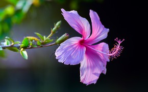 Picture macro, background, pink, petals, Hibiscus