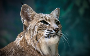 Picture face, portrait, lynx, wild cat