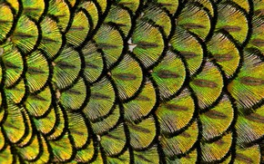Picture macro, feathers, Peacock, Peacock