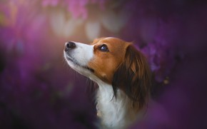 Picture face, dog, profile, bokeh, Kooikerhondje