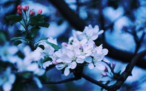 Picture Apple, Apple blossom, blooming Apple tree, branch of Apple