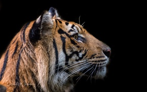 Picture tiger, background, beast