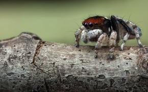 Picture macro, background, tree, spiders, legs, spider, bark, hairy, jumper, spider, sakunik