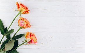 Picture flowers, orange, background, roses, buds