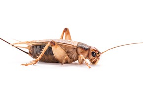 Picture legs, insect, cricket