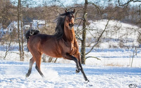 Picture pose, movement, horse, horse, running, grace, posing, chestnut, playful, (с) Oliver Seitz