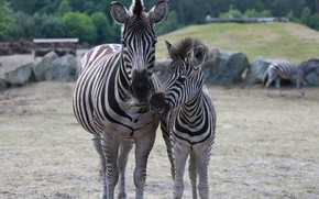 Picture Nature, Zebra, Serengeti Park