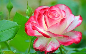Picture macro, roses, petals, buds, bright