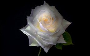 Picture rose, white, black background