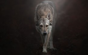 Wallpaper look, background, Czechoslovakian, Wolfdog, The Czechoslovakian Wolfdog