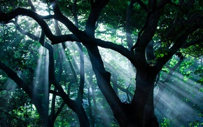 Picture the sun, rays, light, trees, nature, tree