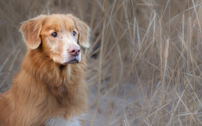 Picture look, dog, Retriever