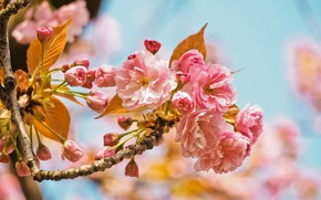 Picture nature, cherry, tree, pink, spring, garden, flowers, cherry blossom