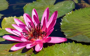 Picture flower, sheet, flowering, pond, Water Lily