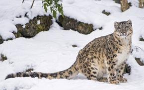 Picture snow, predator, IRBIS, snow leopard