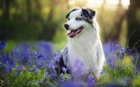 Picture summer, each, dog, Australian shepherd