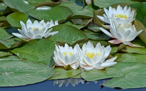 Wallpaper Water Lily, leaves, water, Flowers, flowering