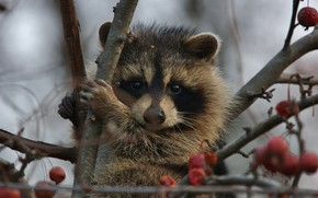 Wallpaper raccoon, branches, tree, animal, berries