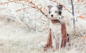 Wallpaper grass, sea buckthorn, Bush, scarf, Aussie, sitting, Australian shepherd, frost, garden, nature, winter, snow, dog