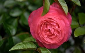 Picture rose, spring, Bud, flowering