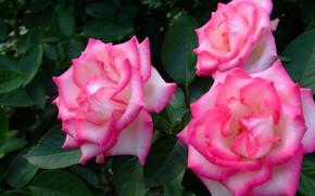 Picture leaves, rose, Bush, petals, garden