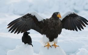 Picture birds, wings, Raven, floe, Steller's sea eagle