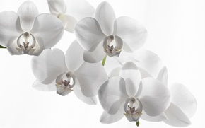 Picture white background, Orchid, white Orchid
