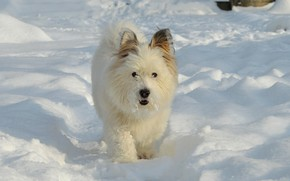 Picture Winter, Snow, Dog, Dog, Winter, Snow, The West highland white Terrier