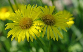Picture Flowers, Yellow, Flowering