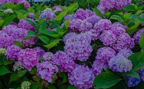 Wallpaper Bush, hydrangea, flowers