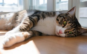 Picture cat, cat, look, face, light, pose, table, grey, mood, paws, window, lies, striped, green-eyed, white