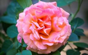 Picture macro, pink, rose, lush