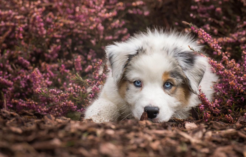 Photo wallpaper look, dog, puppy, blue eyes, face, doggie, Australian shepherd, Heather