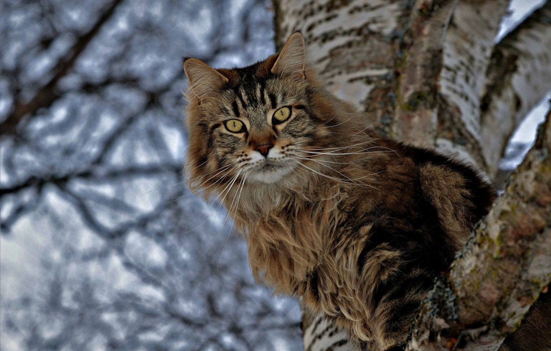 Photo wallpaper cat, cat, look, tree, birch, on the tree