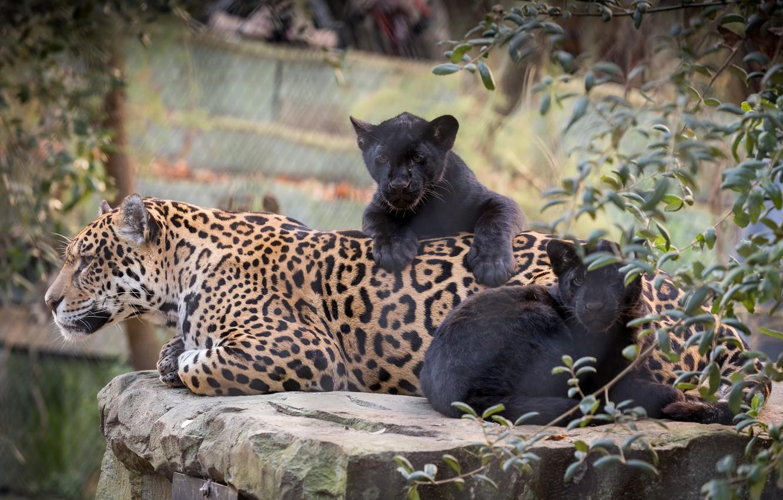 Photo wallpaper cats, nature, baby, mom, jaguars