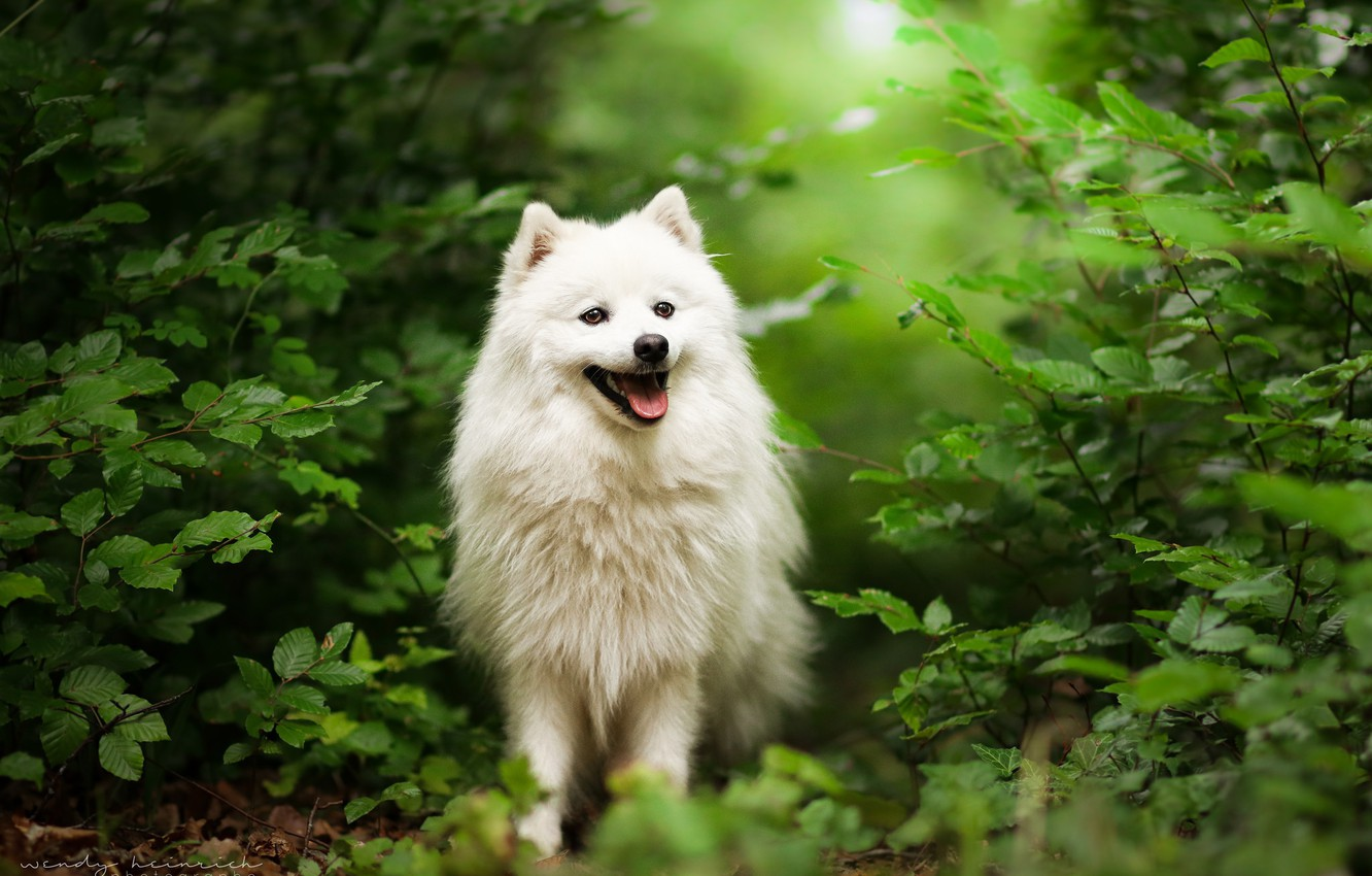 Photo wallpaper grass, nature, dog, walk, Spitz