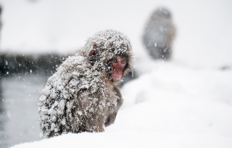 Photo wallpaper monkey, Japan, Nagano Prefecture, Yamanouchi-march