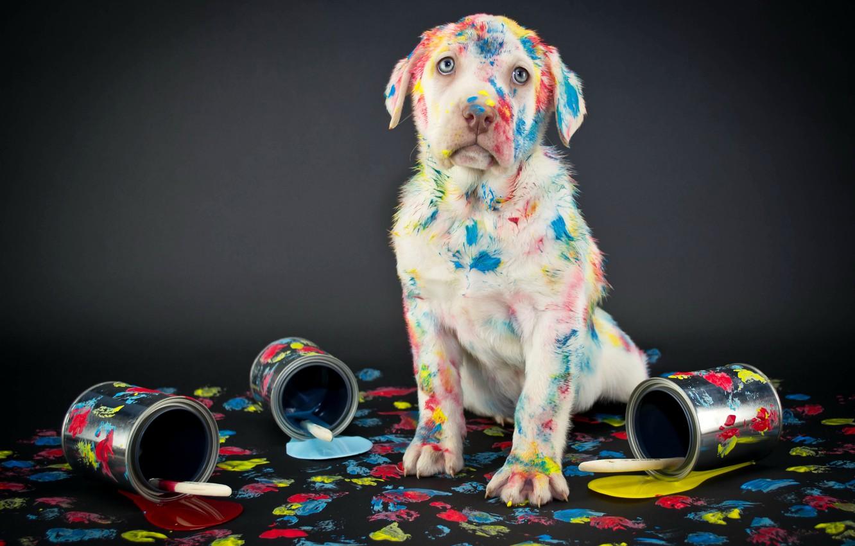 Photo wallpaper paint, Labrador, background, labrador, Retriever, dogs, retriever