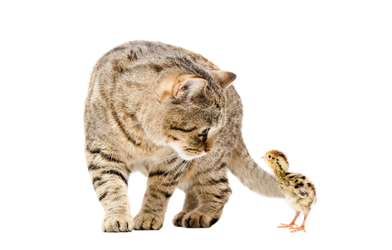 Photo wallpaper cat, pair, chicken, cats, chickens